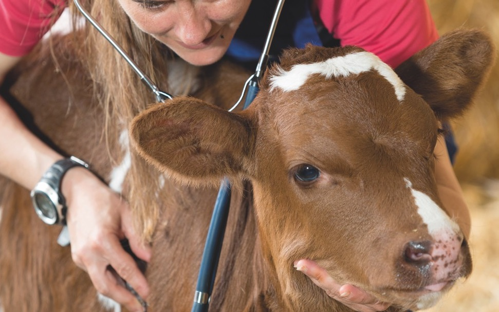 Vétérinaire et un veau